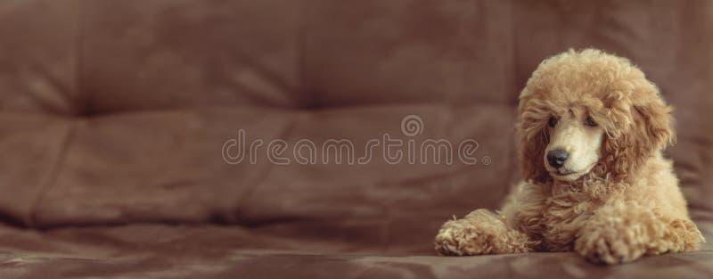 De jonge hond rust thuis op de leunstoel royalty-vrije stock foto's