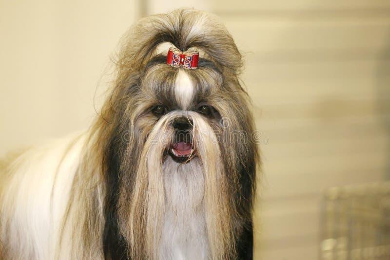 De jonge hond van shihtzu met aanbiddelijke haarspeld stock afbeelding
