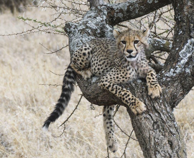 De jonge jachtluipaardwelp rust terwijl het leren om bomen te beklimmen stock fotografie