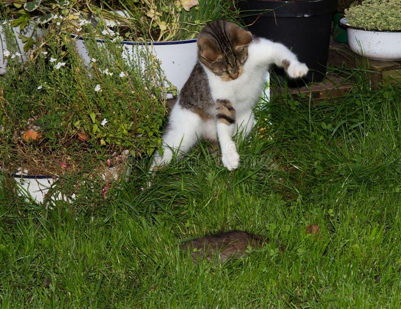 De jonge kat jaagt een rat stock foto's