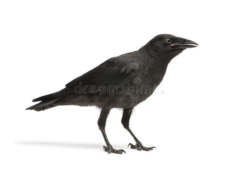 De jonge Kraai van het Aas - corone Corvus (3 maanden) stock foto's