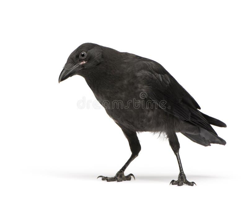 De jonge Kraai van het Aas - corone Corvus (3 maanden) royalty-vrije stock afbeeldingen