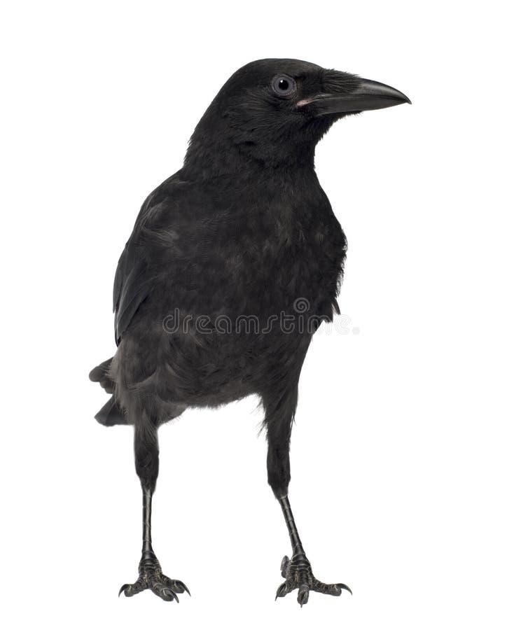 De jonge Kraai van het Aas - corone Corvus (3 maanden) royalty-vrije stock afbeelding