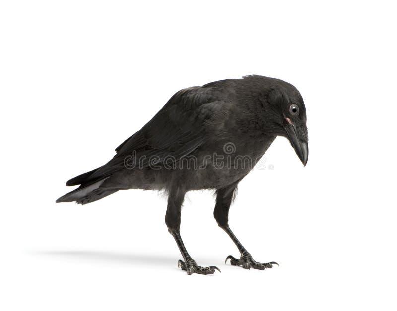 De jonge Kraai van het Aas - corone Corvus (3 maanden) stock afbeelding