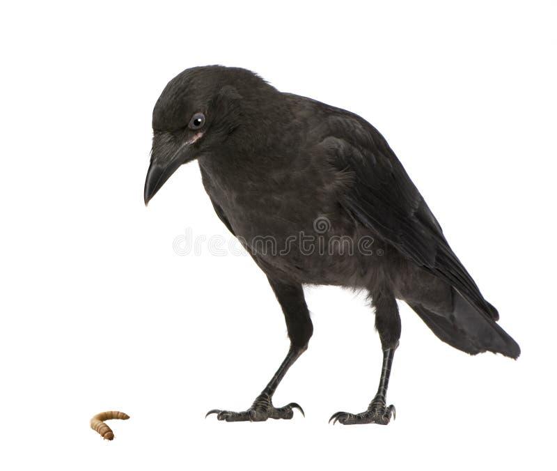 De jonge Kraai van het Aas - corone Corvus (3 maanden) royalty-vrije stock foto's