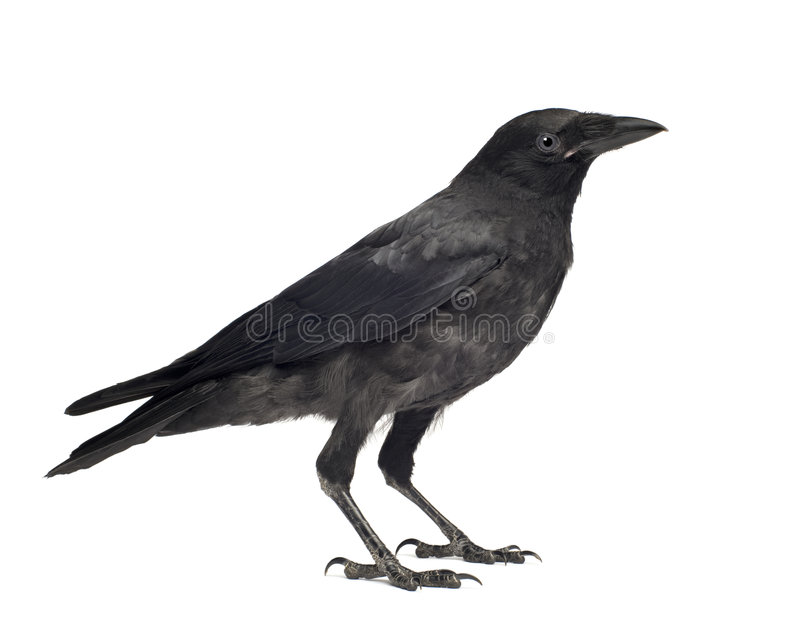 De jonge Kraai van het Aas - corone Corvus (3 maanden) stock afbeeldingen