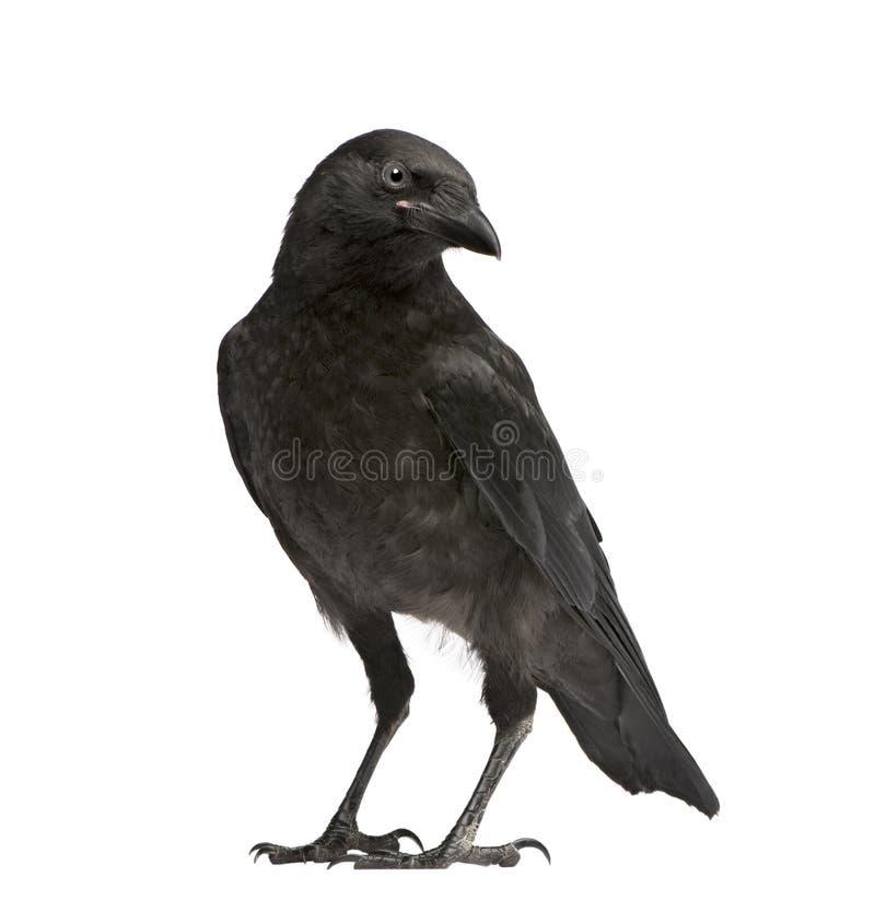 De jonge Kraai van het Aas - corone Corvus (3 maanden) stock foto
