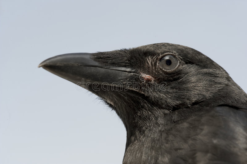 De jonge Kraai van het Aas - corone Corvus (4 maanden) stock afbeeldingen