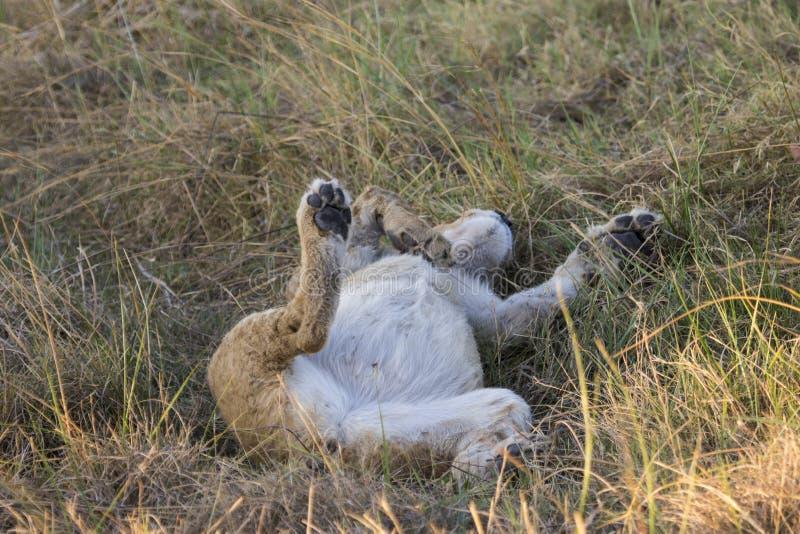 De jonge leeuw legt op zijn rug in het gras royalty-vrije stock afbeeldingen