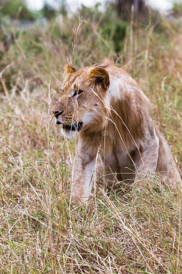 De jonge leeuw is omzichtig Savanne Masai mara Kenia, Afrika stock afbeelding