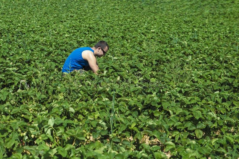 De jonge mens in een blauwe t-shirt verzamelt aardbeien op een groen aardbeigebied royalty-vrije stock foto