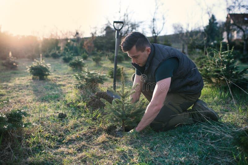 De jonge mens plant een kleine boom in de tuin Kleine aanplanting voor een Kerstmisboom Picea pungens en Abies nordmanniana Dirkt stock afbeelding