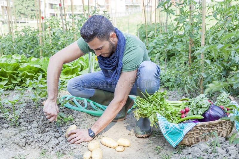 De jonge mens trekt aardappels in de moestuin terug stock fotografie