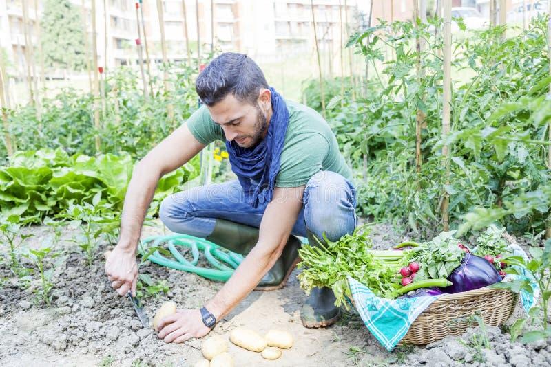 De jonge mens trekt aardappels in de moestuin terug stock afbeelding
