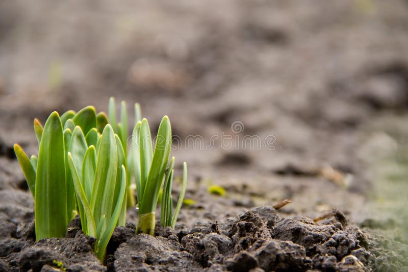 De jonge onderbrekingen van groene installatiespruiten door bevroren grond in de lente royalty-vrije stock afbeelding