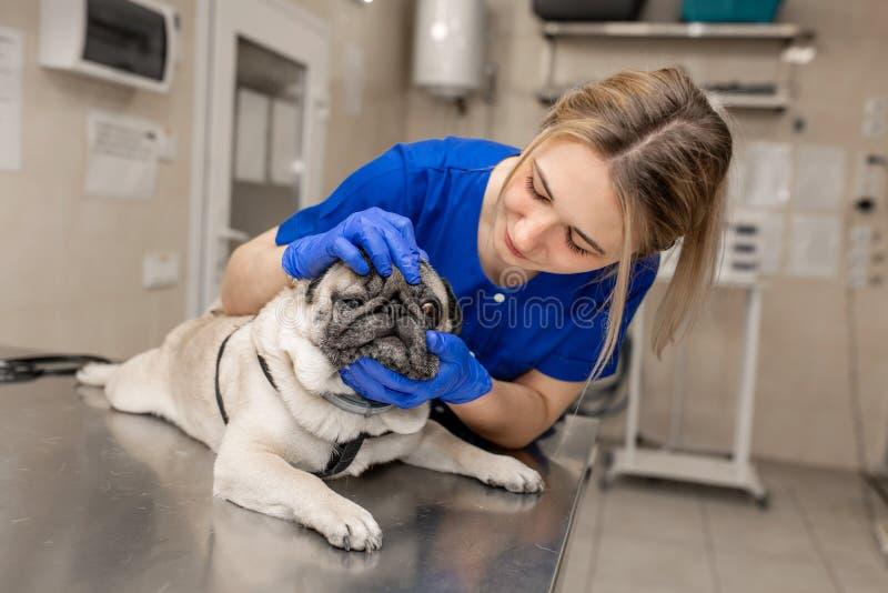 De jonge professionele vrouwelijke veterinaire ogen van de artsencontrole van pug hond in veterinaire kliniek stock afbeeldingen