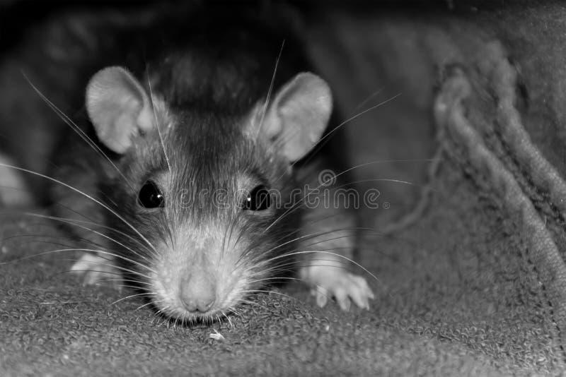 De jonge rat met groot zwart van de het knaagdier stemmend snuit van het ogenportret lang de snorclose-up in nadruk disiain basee royalty-vrije stock foto