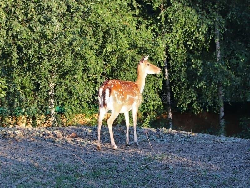 De jonge reeën weiden bij de rand van het bos in de stralen van zonlicht De dieren zijn wild in gevangenschap of in natuurlijke v royalty-vrije stock foto