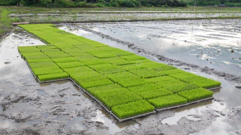 De jonge rijstspruiten treffen om op een padiegebied in Thailand te planten voorbereidingen stock afbeeldingen