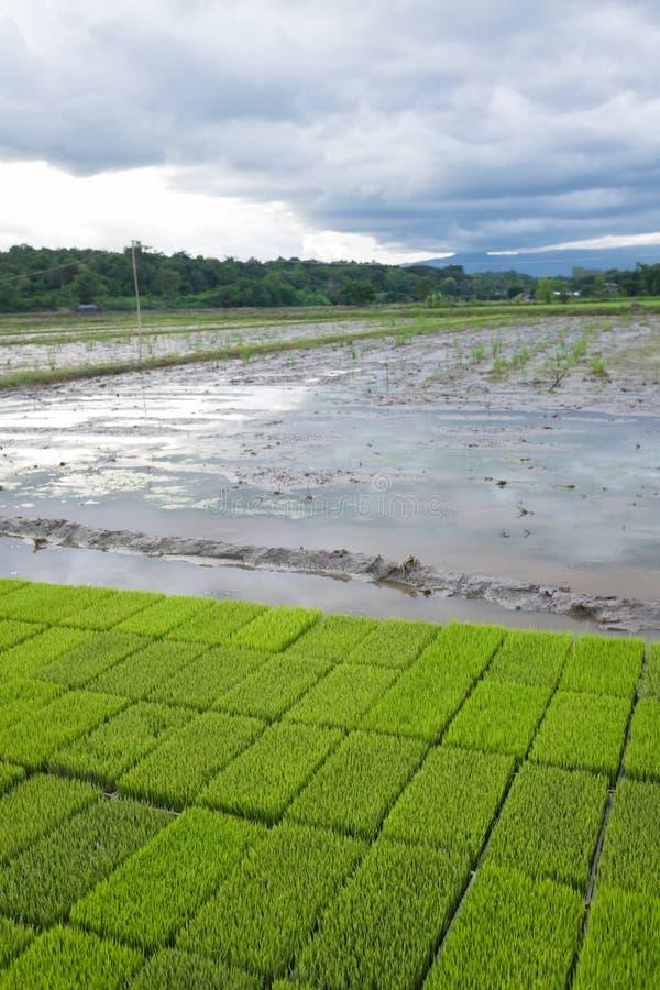 De jonge rijstspruiten treffen om op een padiegebied in Thailand te planten voorbereidingen royalty-vrije stock afbeelding