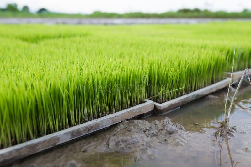 De jonge rijstspruiten treffen om op een padiegebied in Thailand te planten voorbereidingen stock fotografie