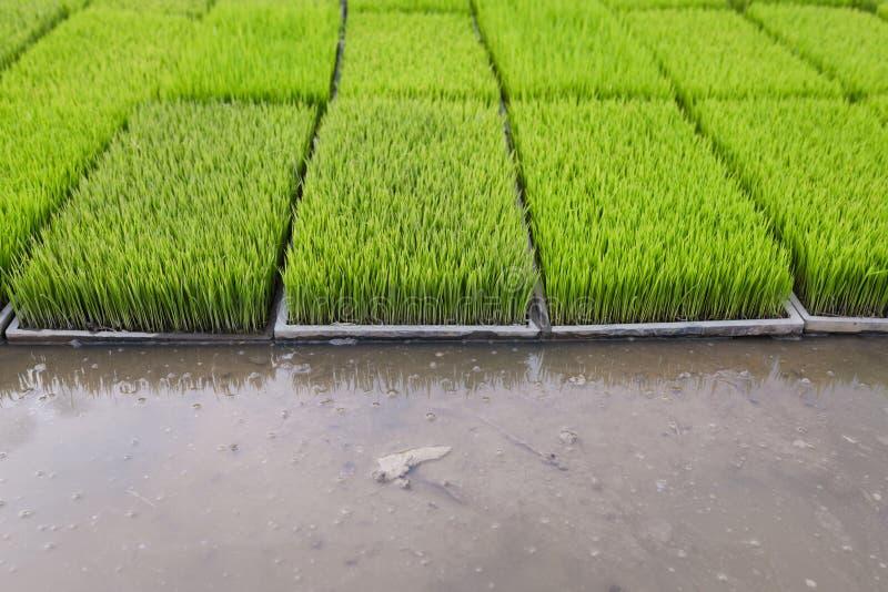 De jonge rijstspruiten treffen om op een padiegebied in Thailand te planten voorbereidingen royalty-vrije stock foto