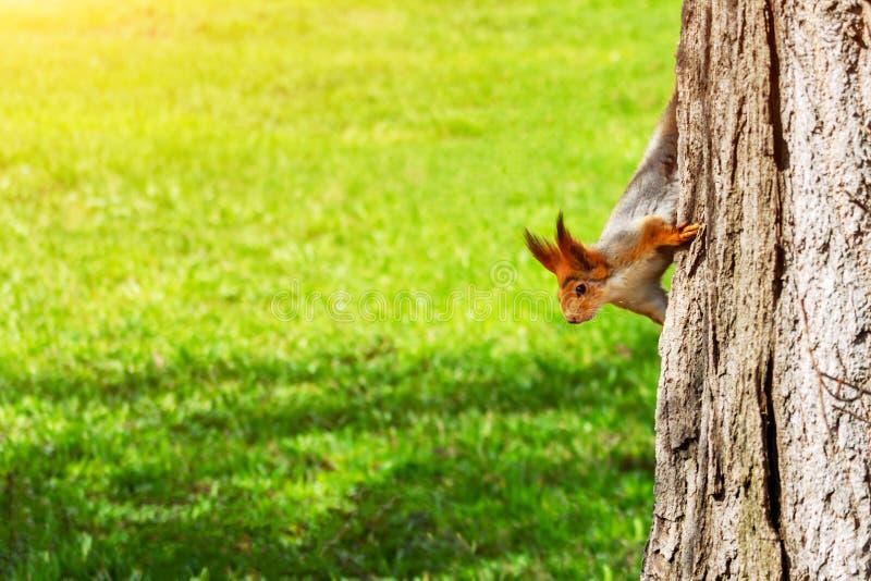 De jonge rode eekhoorn kijkt uit van achter een boomboomstam op een groene grasachtergrond, exemplaarruimte Vulgaris Sciurus royalty-vrije stock fotografie