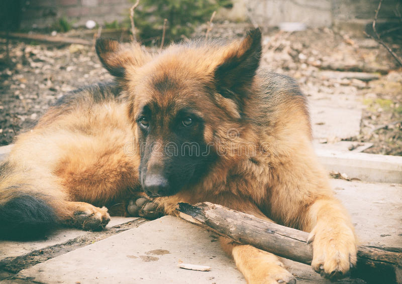 De jonge rode pluizige Duitse spelen van de herdershond met stok in de werf Spelen met huisdier openlucht royalty-vrije stock afbeelding