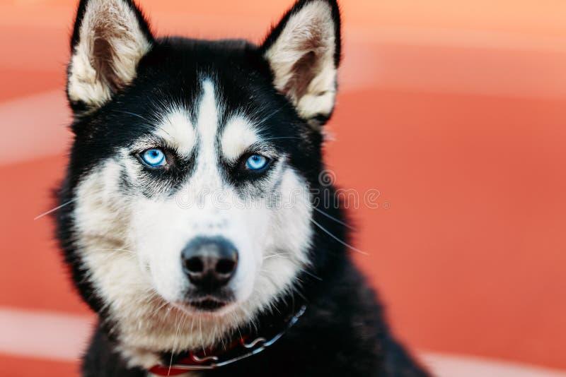 De jonge Rode Vloer van Husky Puppy Dog Sitting In Openlucht royalty-vrije stock fotografie