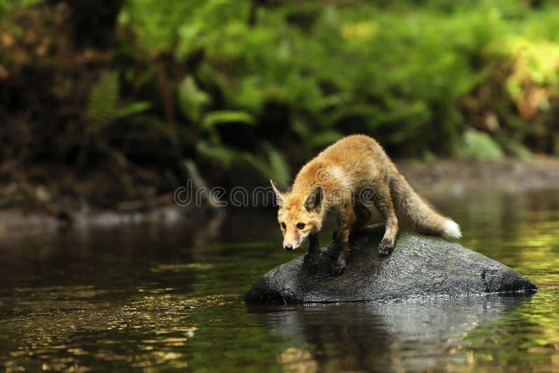 De jonge rode vos op steen in rivier is op vooruitzicht - Vulpes vulpes royalty-vrije stock foto