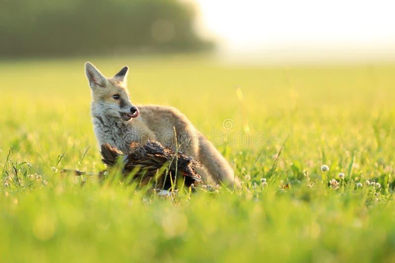 De jonge rode vos zorgt voor de prooi op weide - Vulpes vulpes royalty-vrije stock foto