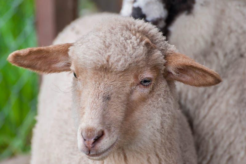 De jonge schapen sluiten omhoog geschoten, portret op natuurlijk licht royalty-vrije stock afbeeldingen