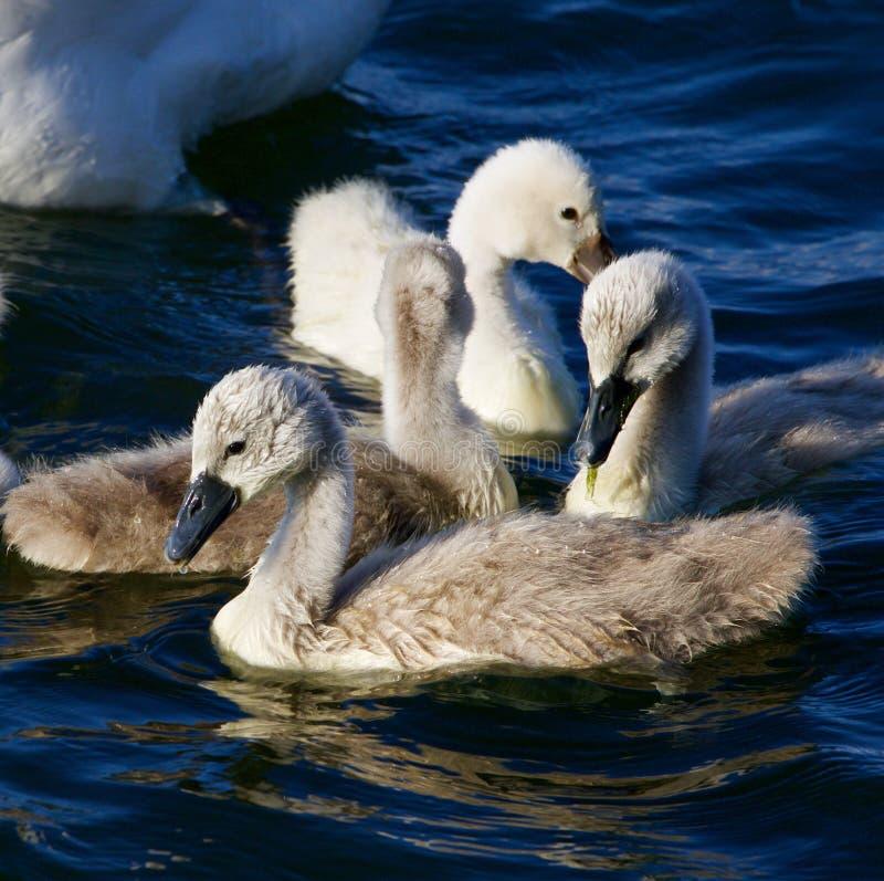 De jonge stodde zwanen zwemmen stock foto's