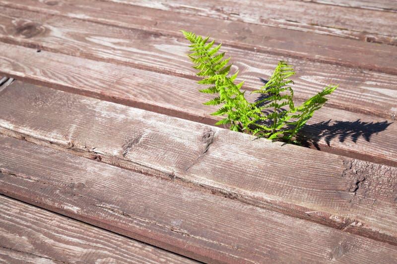 De jonge varen groeit door landelijke houten vloer royalty-vrije stock foto
