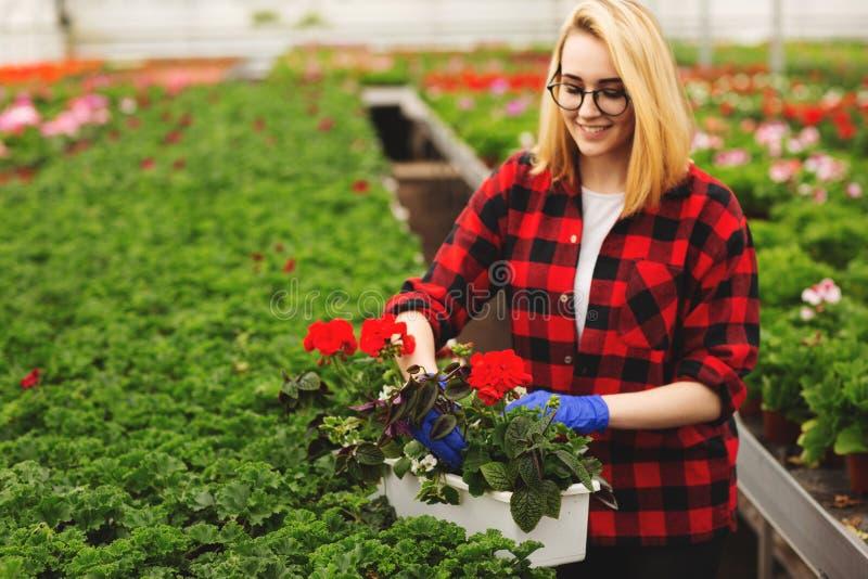 De jonge vrouwelijke tuinman in in serre werken, en handschoenen die bloeit planten behandelen royalty-vrije stock afbeeldingen