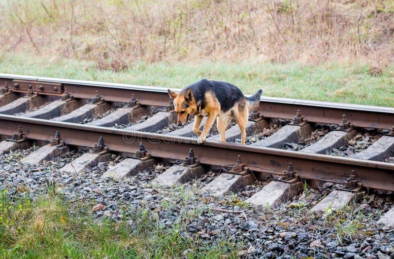 De jonge wandelende hond gaat door spoorweg tracks_ stock afbeeldingen
