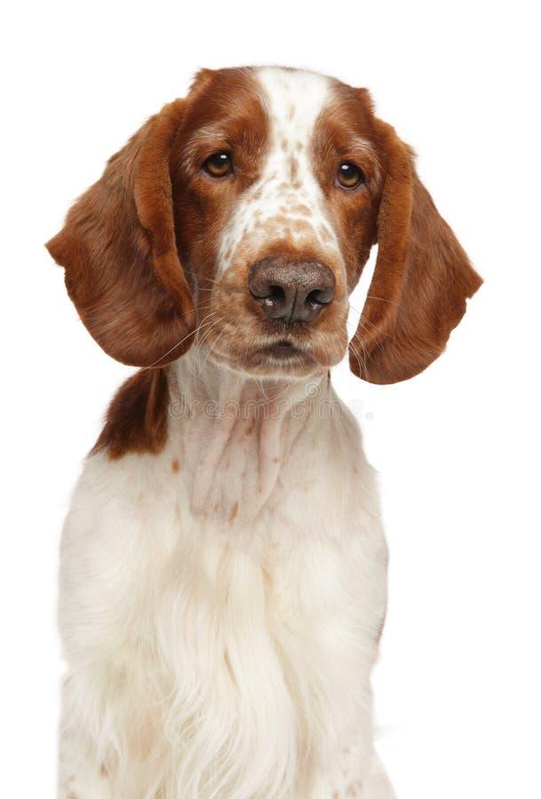 De jonge Welse hond van het Aanzetsteenspaniel stock foto's
