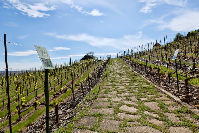 De jonge wijngaard heeft in parallelle rijen bij heuvelig geplant royalty-vrije stock afbeeldingen