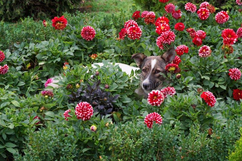 De jonge wit-bruine hond ligt op rust in rode dahlia's stock foto