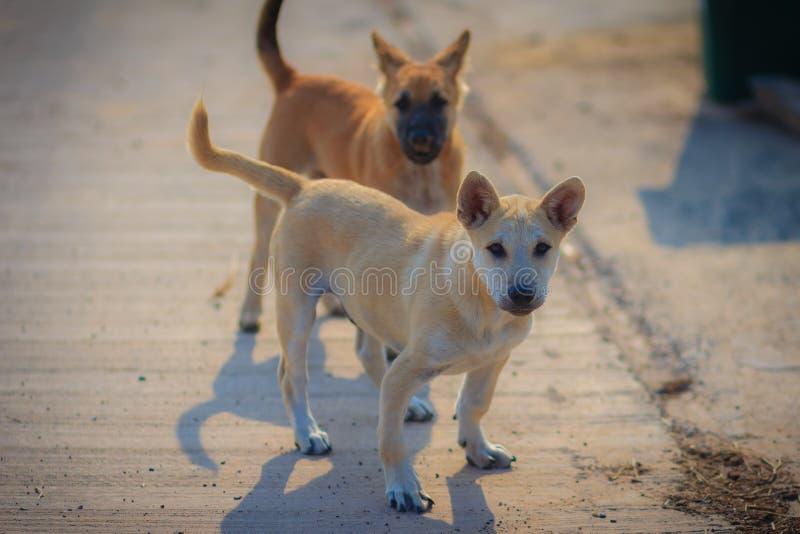 De jonge witte en bruine honden bevinden zich op concrete vloer in stock afbeelding