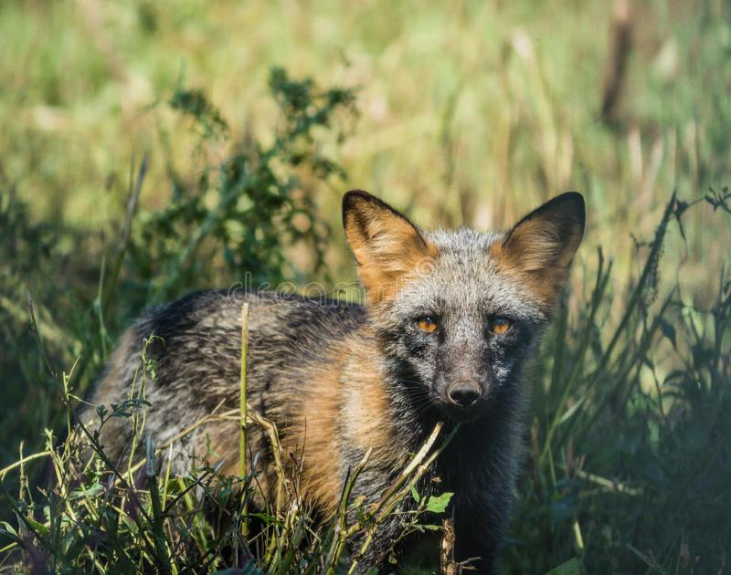 De jonge wolf in het gras heeft mooie woeste gouden ogen royalty-vrije stock foto