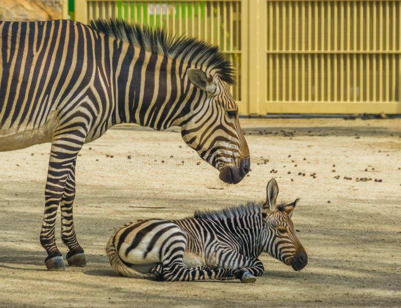 De jonge zebra van de hartmannsberg samen met zijn moeder, Kwetsbare dierlijke specie van Namibi? en Angola in Afrika royalty-vrije stock foto's