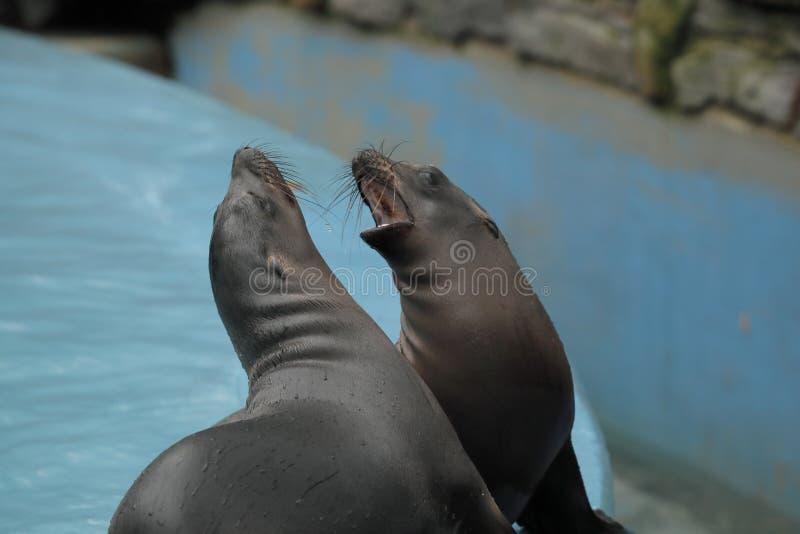 De jonge zeeleeuwen van Californië brult luid op de rand van het zwembad stock foto's