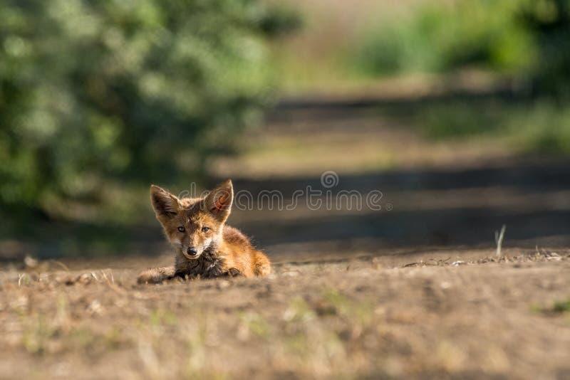 De jonge zitting van het vosportret op de weg in een zonnige dag royalty-vrije stock foto