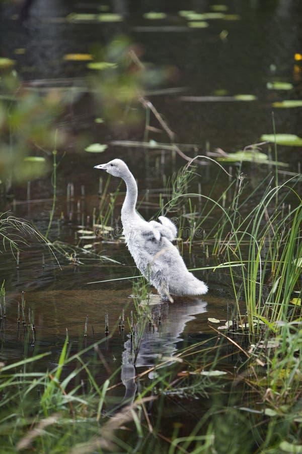 De jonge zwaan op de bank van het meer stock fotografie