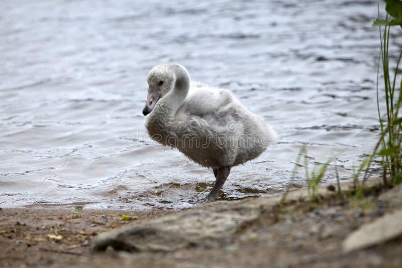 De jonge zwaan op de bank van het meer royalty-vrije stock afbeeldingen