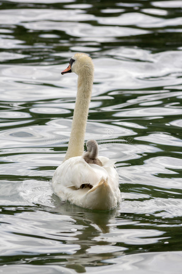 De jonge zwaan van de babyzwaan rust op moeder ` royalty-vrije stock afbeeldingen