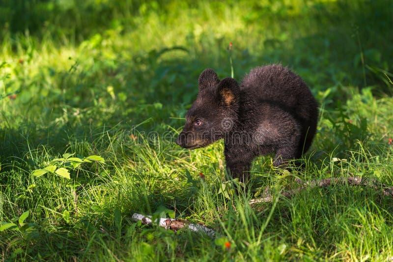 De jonge Zwarte draagt (americanus Ursus) Gangen door Gras royalty-vrije stock fotografie