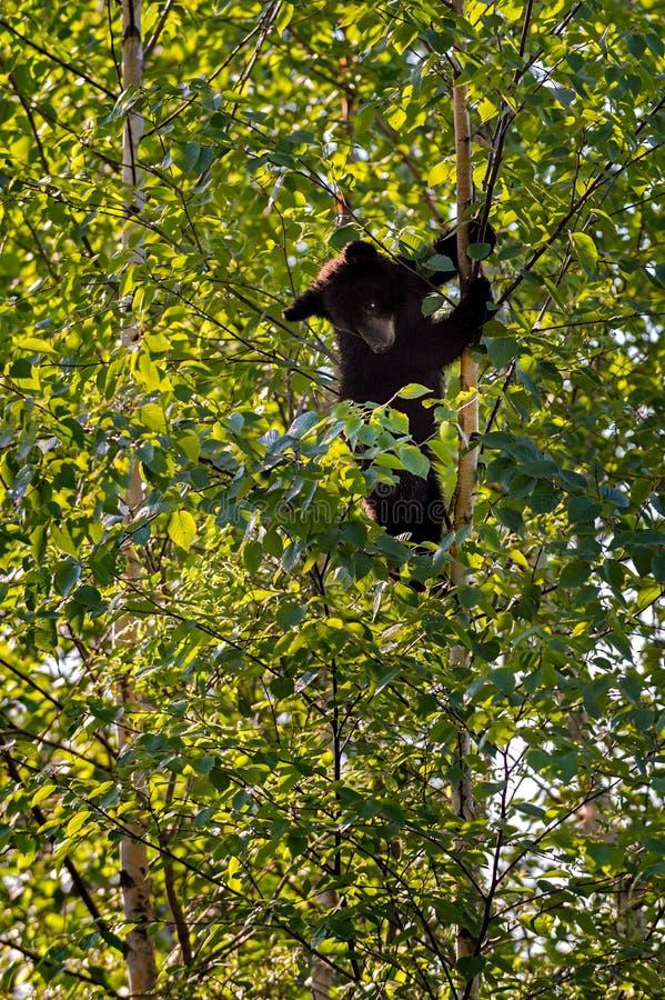 De jonge Zwarte draagt (neer americanus Ursus) Blikken van Dunne Boom RT royalty-vrije stock foto