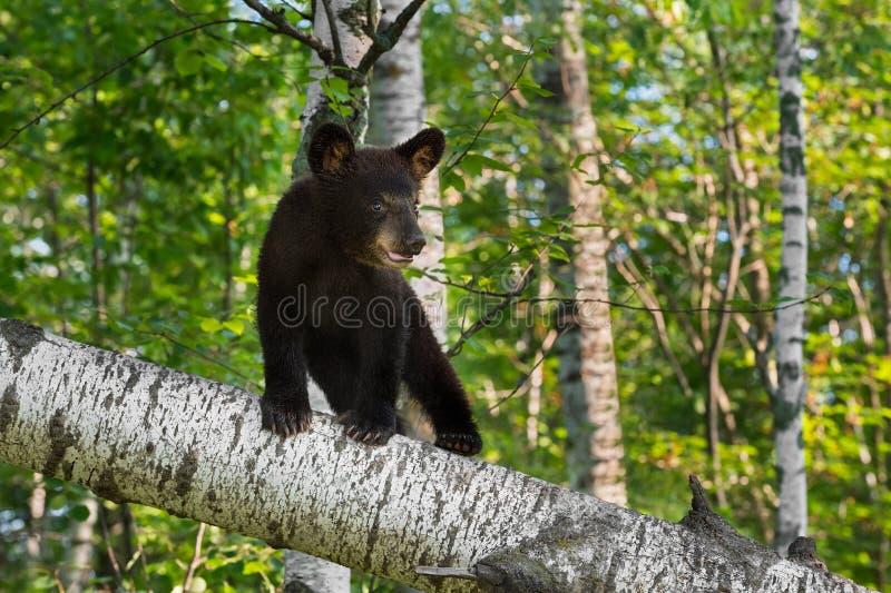 De jonge Zwarte draagt Welp (americanus Ursus) Tribunes op Berktak royalty-vrije stock afbeelding